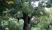 Най старото дърво във Витоша и намиращо се на територията на кв. Княжево